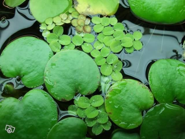 plante aquatique lentille d'eau
