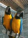 Couple de perroquets ara ararauna EAM Photo